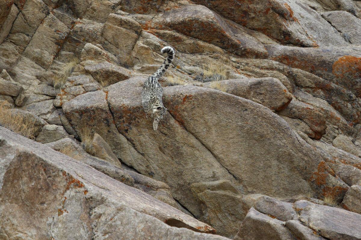Schneeleoparden in Indien fotografieren - Indien Fotoreisen