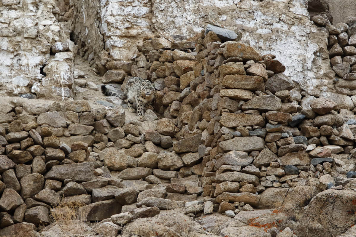 Die Beute lag unterhalb dieser alten verlassenen Häuser, nicht einsehbar, in einer Felsspalte. Und wenn der Schneeleopard zum Fressen ging, so wählte er immer den Weg entlang dieser Steinmauern. Schneeleoparden fotografieren