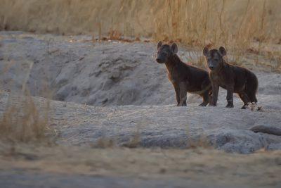 Die Lebala Lagoon Konzession in Botswana weist eine sehr hohe Dichte an Raubtieren auf. Neben Wildhunden, Leoparden und Löwen gibt es auch sehr viele Hyänen in diesem Gebiet.