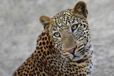 Die Lebala Lagoon Konzession in Botswana weist eine sehr hohe Dichte an Leoparden auf. Botswana Reisen, Fotoreisen.