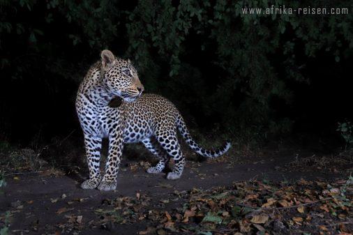 Den Leoparden auf der Spur. Reisen Sie mit uns nach Sambia und Botswana.