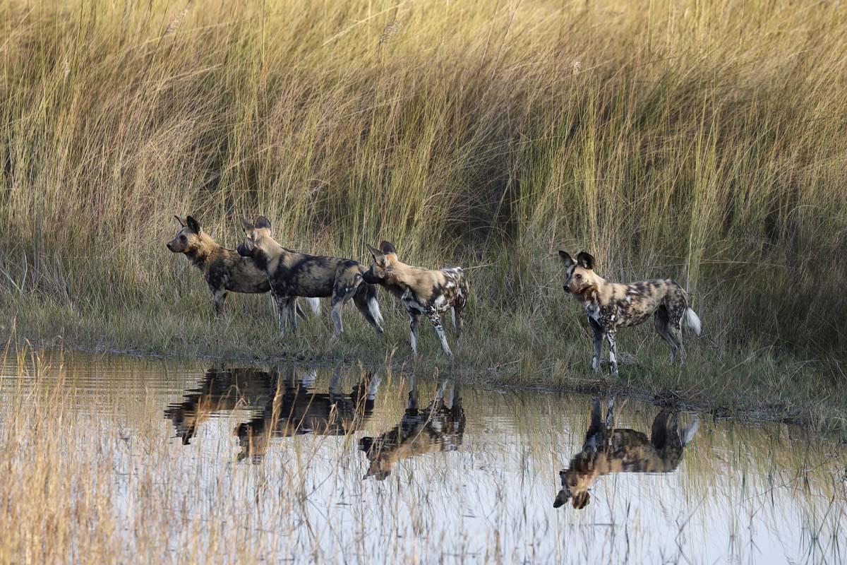 Afrikanische Wildhunde in Botswana's Okavango Delta.