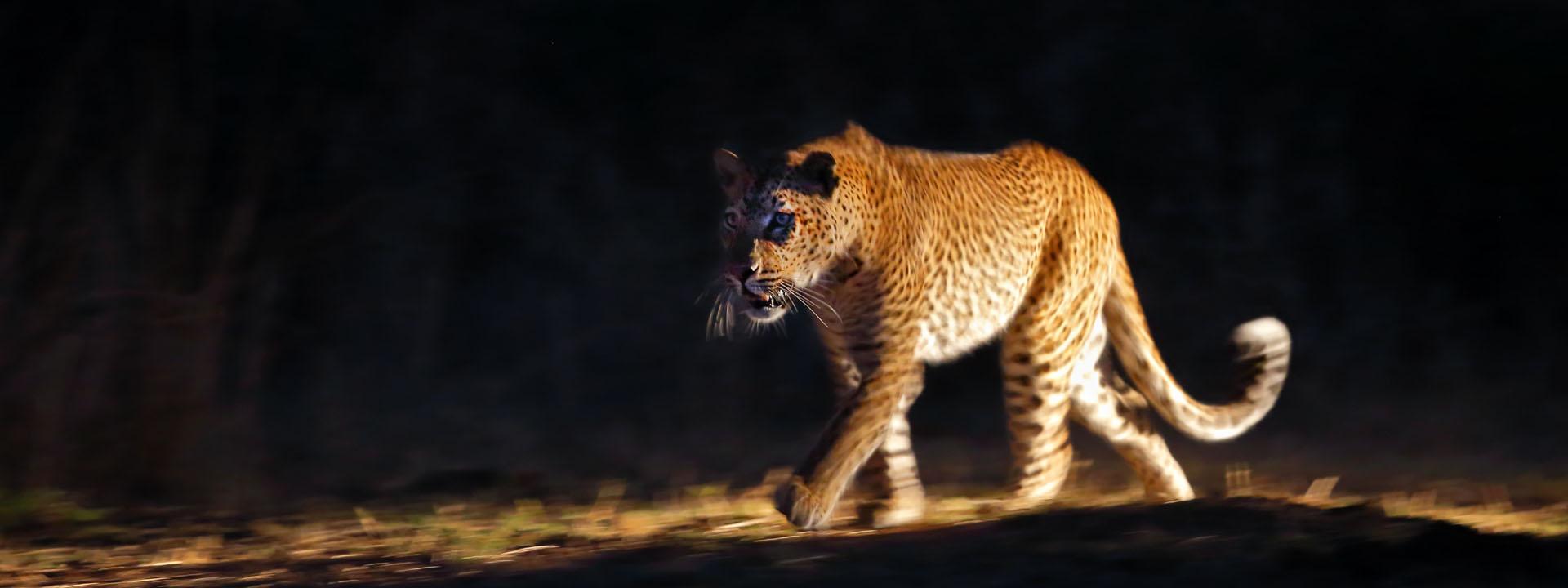 Leoparden im South Luangwa vom 07.06. bis 18.06.2020