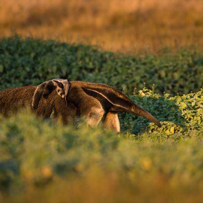 Ameisenbaer mit Jungtier, fotografiert im Pantanal, Brasilien.