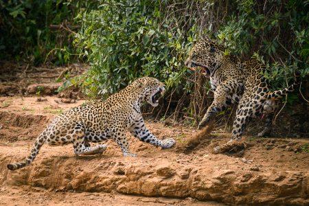 Jaguare im Pantanal, Fotoreise mit In Africa - In INDIA Safaris