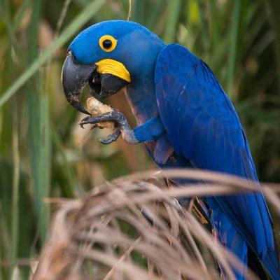 Hyazintara, Pantanal - Brasilien.