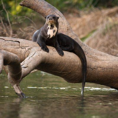 Riesenotter im Pantanal, Fotoreise mit In Africa - In INDIA Safaris