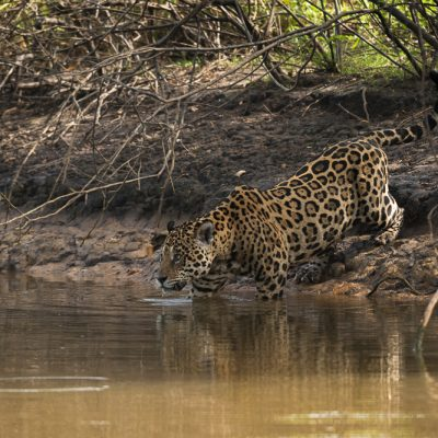 Jaguar im Pantanal, Fotoreise mit In Africa - In INDIA Safaris