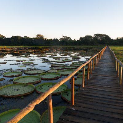 Viktoria Seerosen auf einem See im Pantanal, Brasilien.