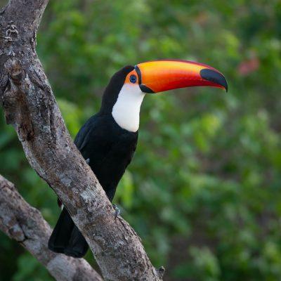 Tukan im Pantanal - Fotoreise Brasilien.