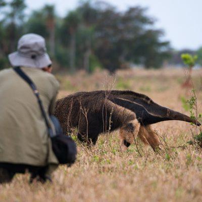 Ameisenbaer (hautnah) im Pantanal, Fotoreise mit In Africa - In INDIA Safaris
