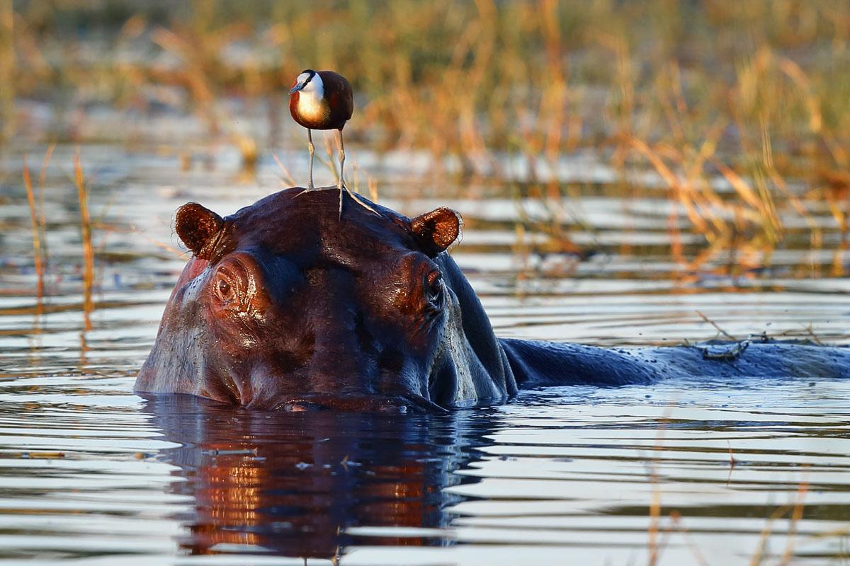 Flusspferde im Okavangodelta fotografieren - auf unseren In AFRICA Fotoreisen nach Botswana.