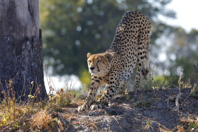 Gepard in der Kwara Konzession, Botswana.