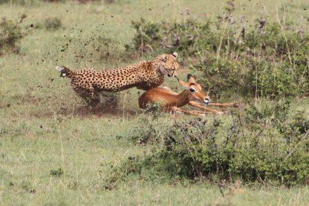 In der Masai Mara hat man immer gute Chancen eine Gepardenjagd zu fotografieren. Kenia Fotoreise.