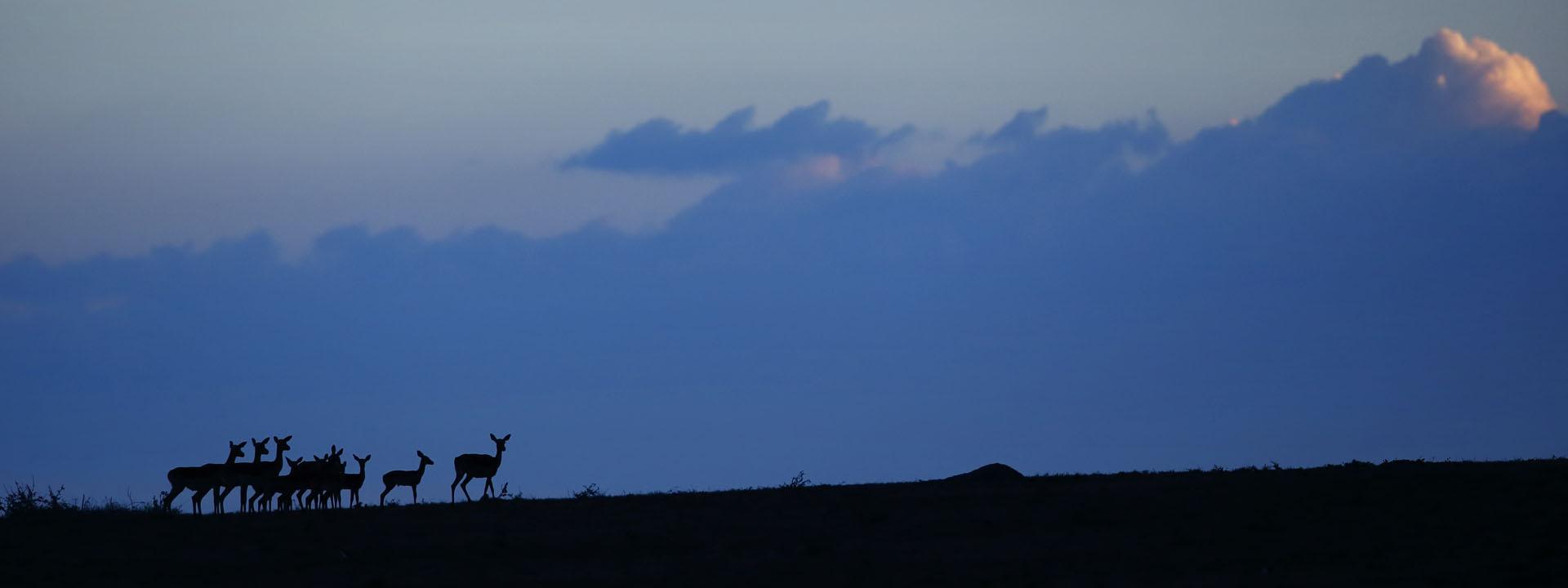 Kenia Masai Mara, Impalas