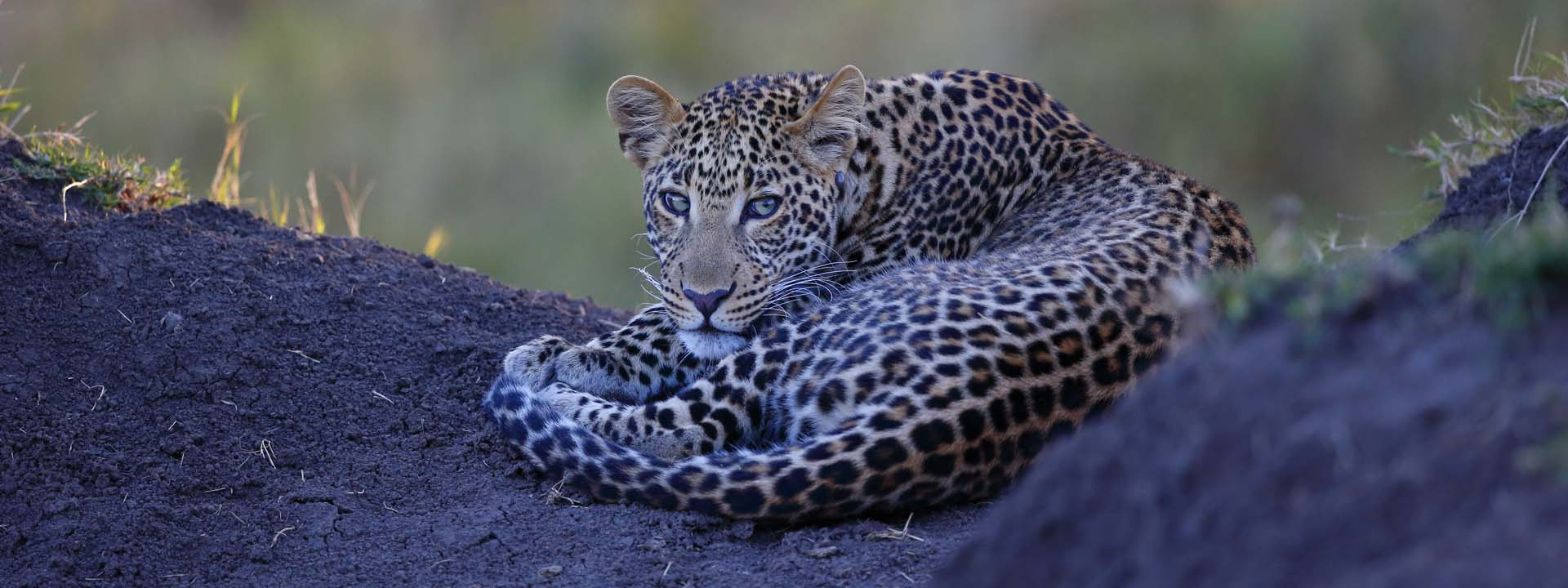 Kenia Reise, Leopard