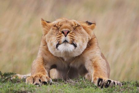Stretching - das Foto von dieser Löwin entstand auf einer In AFRICA Fotoreise in die Masai Mara, Kenia.