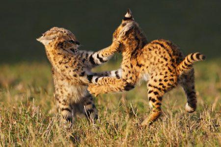 Junge Servale üben sich im spielerischen Kampf. Fotoreise Masai Mara - Kenia