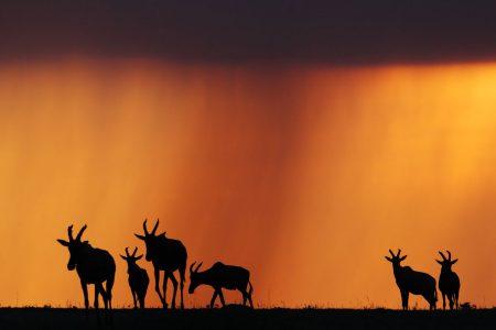 Die Masai Mara bietet beste Bedingungen Silhouetten von Tieren vor einem spektakulären Himmel zu fotografieren. Hier sind es Topis.