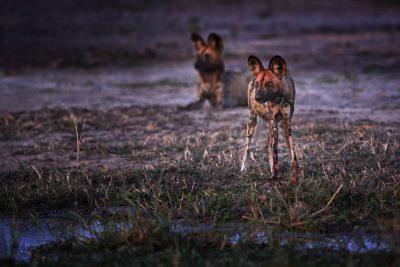Afrikanische Wildhunde in der Lebala Lagoon Konzession. Fotosafari Afrika Botswana.