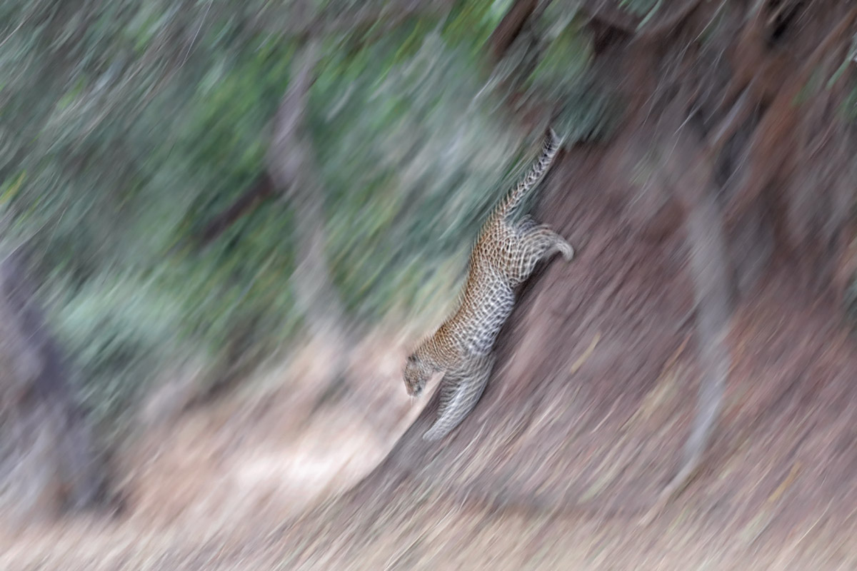 Leoparden in Afrika - South Luangwa NP.