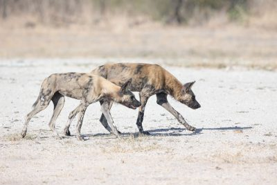 Reisen Afrika Botswana Wildhunde