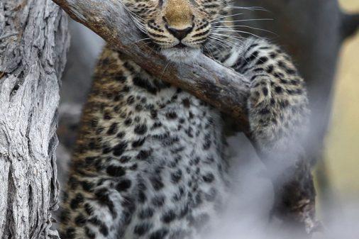 Leopard in Botswanas Okavangodelta - Fotoreisen Afrika.