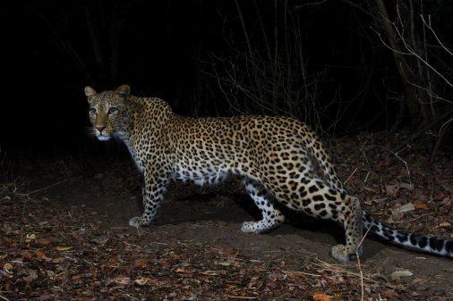 Fotoreise Sambia, Leoparden im South Luangwa