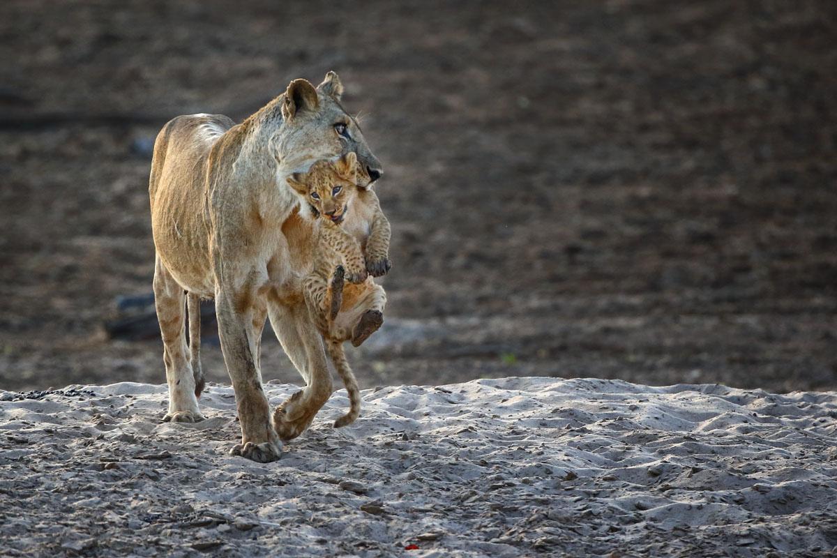 Löwin trägt Jungtier, South Luagwa NP, Sambia.
