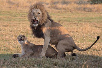 Löwenpaarung im Central Kalahari Game Reserve, Botswana.