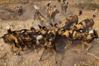 In der Kwara Konzession gibt es eine der stabilsten Wildhundpopulationen in ganz Afrika.