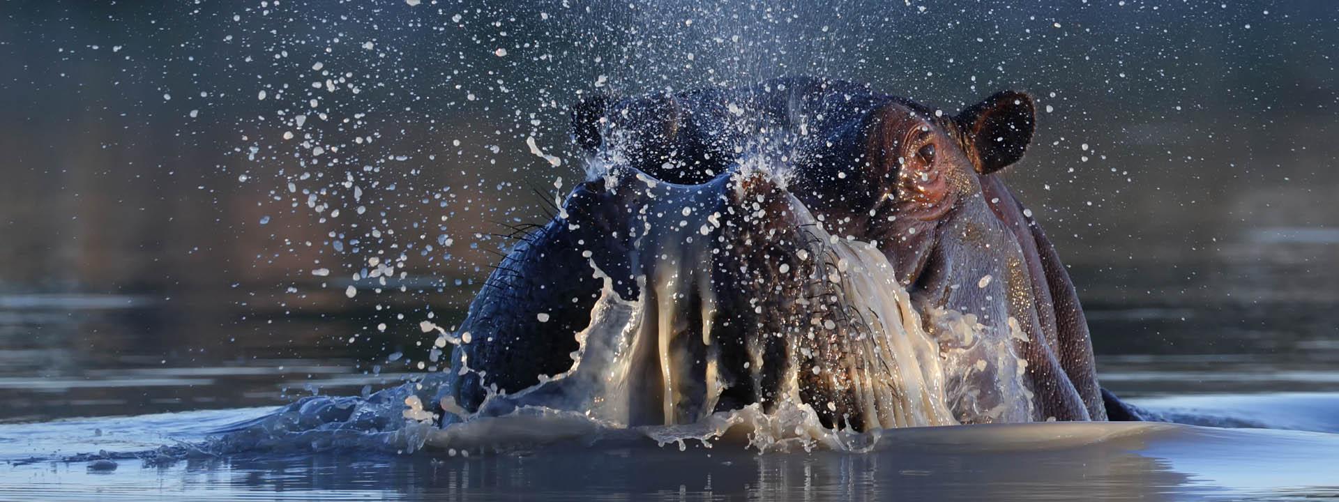 Hippo Afrika Reisen