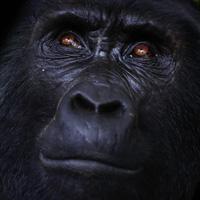 Berggorillas in Uganda und Ruanda