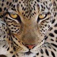 Sehr nahe Begegnungen mit Leoparden - Sambia, Botswana, Kenia
