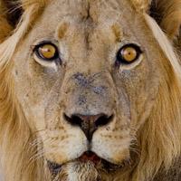 Kalahari Wueste, Masai Mara, Okavangodelta - die besten Gebiete um Löwen zu begegnen.