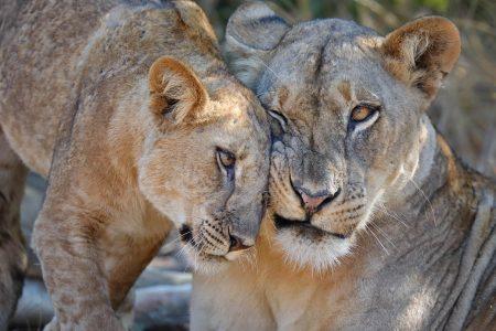 Zahlreiche Löwen Rudel haben ihre Territorien entlang des Luangwa Flusses etabliert.