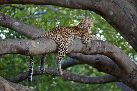 Der South Luangwa Nationalpark bietet zu jeder Jahreszeit beste Leoparden Begegnungen.