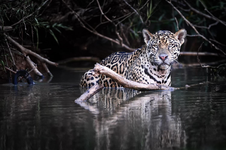 Jaguar im Wasser, fotografiert im Pantanal - Brasilien.
