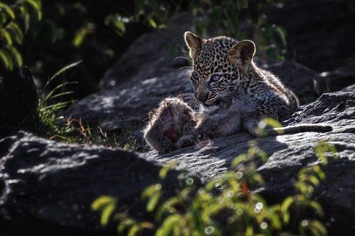 Afrika-Reisen-Kenia-Leopard