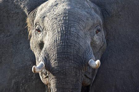 Afrikanischer Elefant Simbabwe