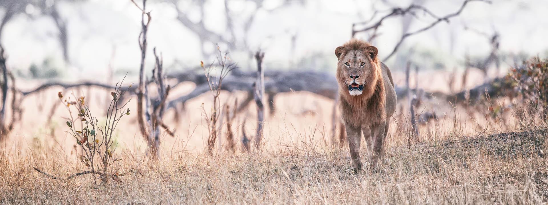 Loewe im Hwange – Simbabwe