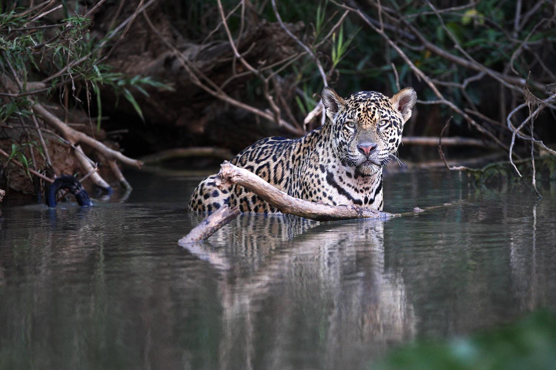 Jaguar - Pantanal
