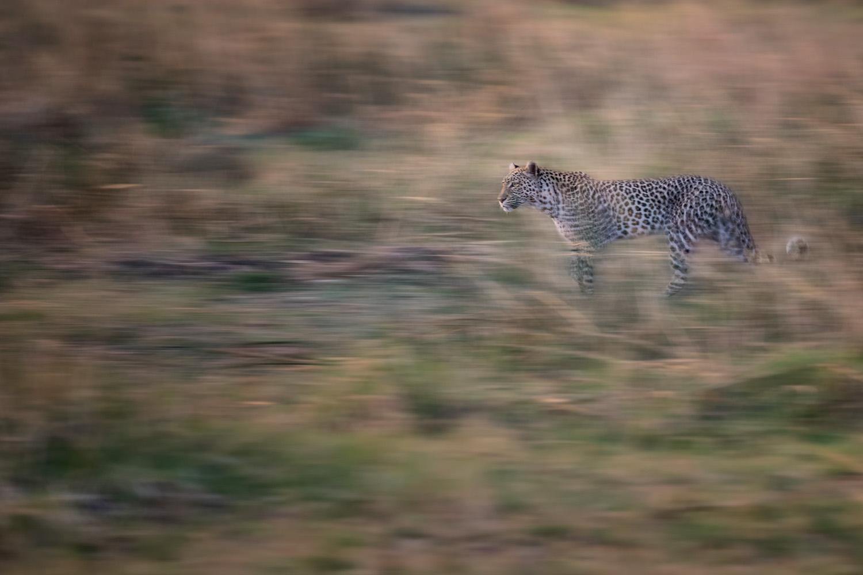 Reisen-Afrika-Leopard-Botswana