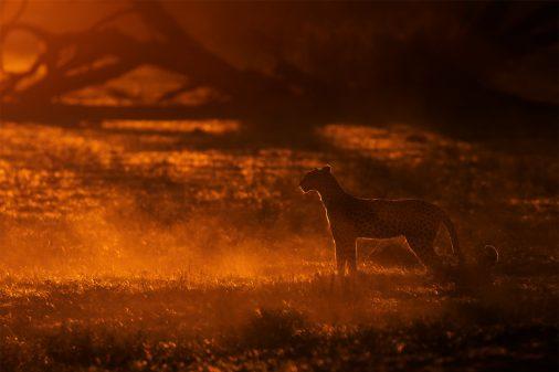 Kalahari Leopard Silhouette