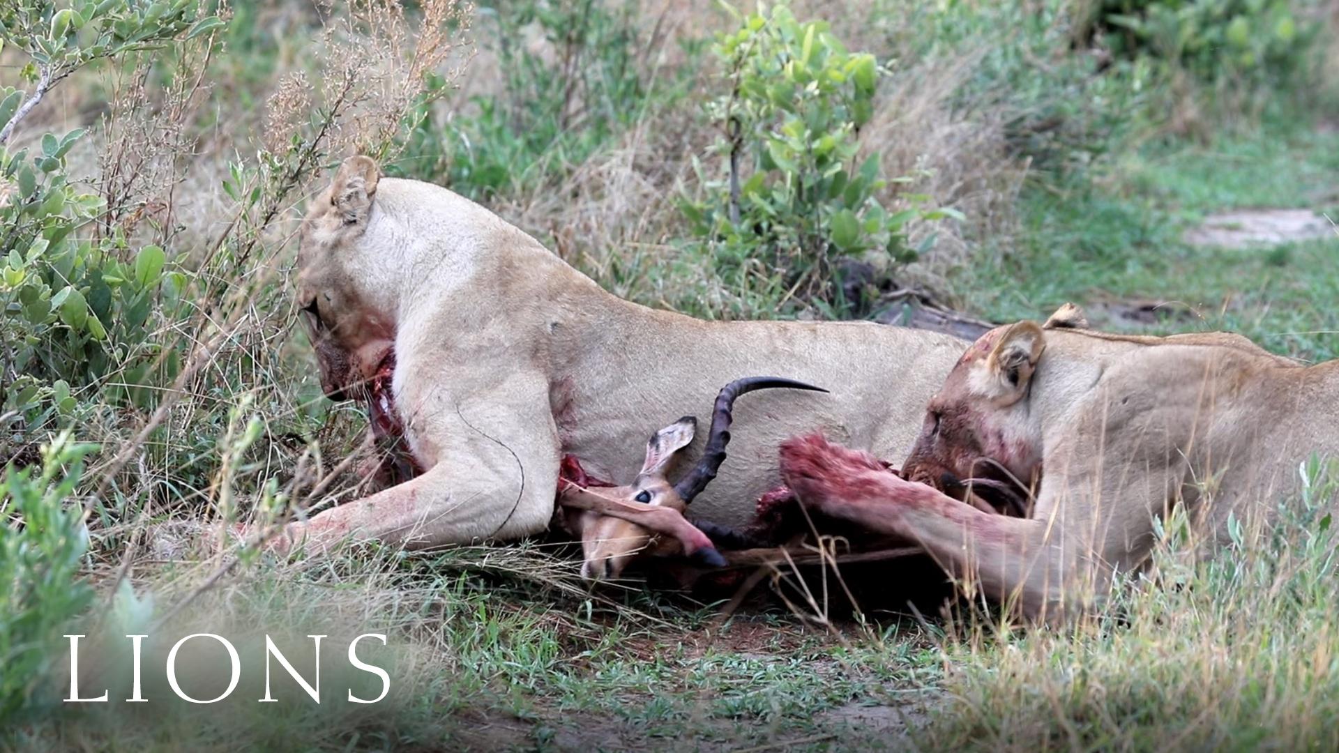Löwen und Impala