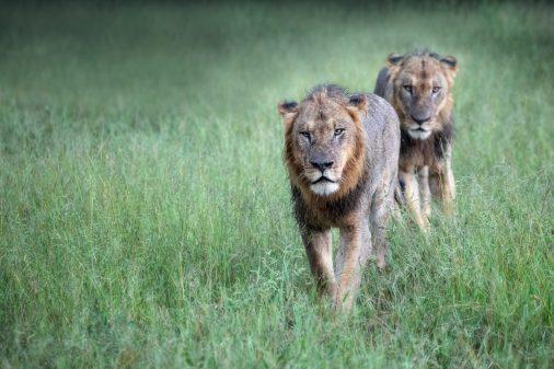 Löwen im Okavangodelta, Botswana.