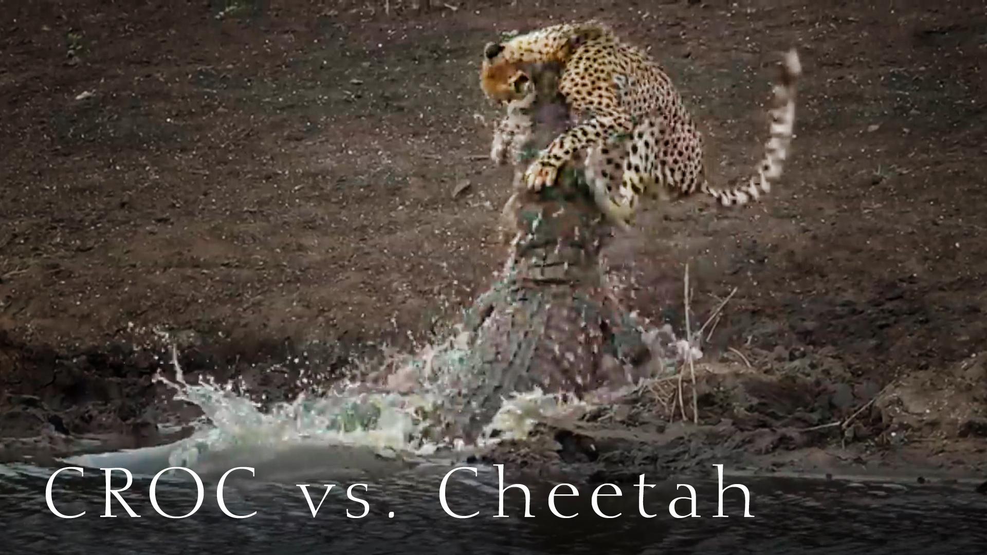 Gepard und Krokodil