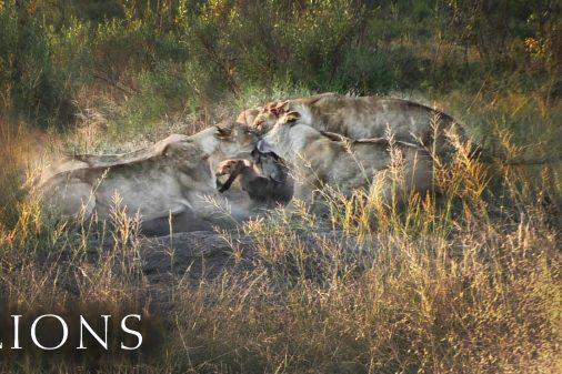 Löwen haben soeben ein Warzenschwein ausgegraben.