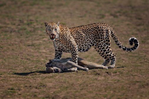 Leopard mit Pavian, Fotoreise Sambia.