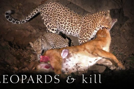 Leopard Kill, Mother and Cub feeding at night on a Puku Antelope